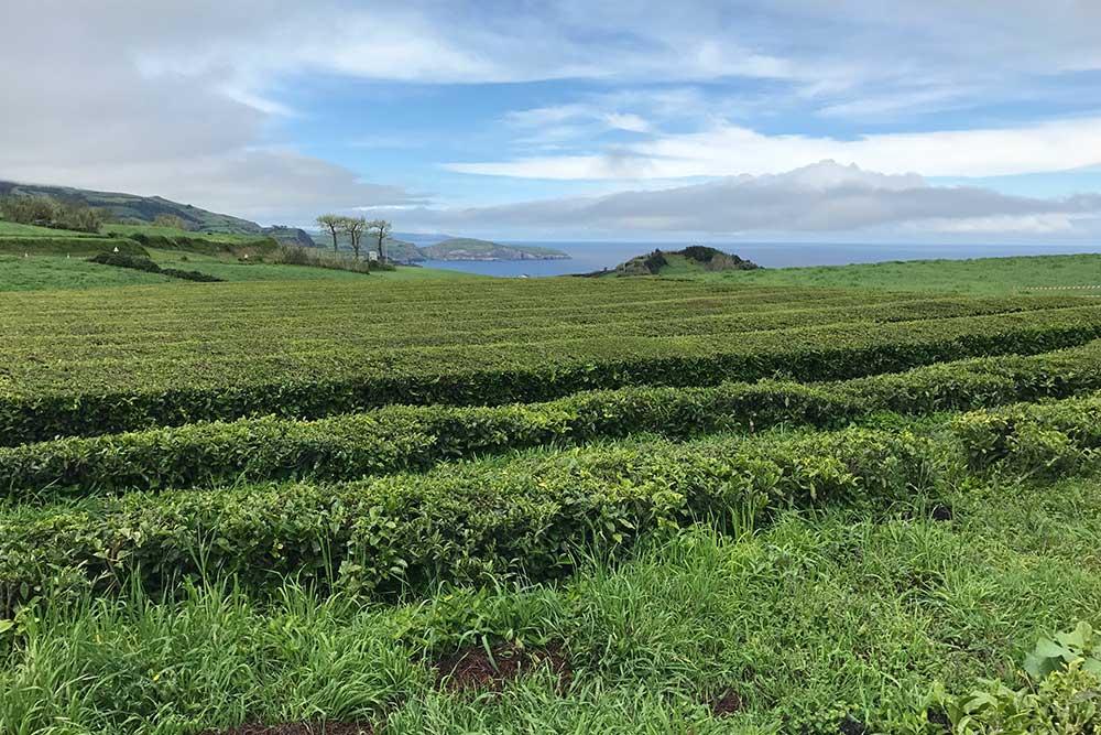 Randonnée dans la plantation de thé - Sao Miguel