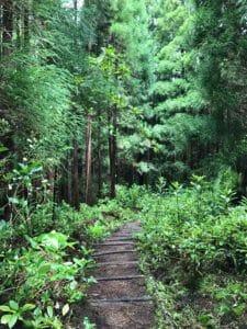 Traversée de la forêt - Sao Miguel