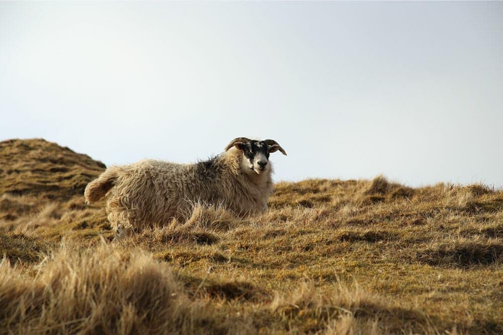 Scottish sheep - Isle of Skye